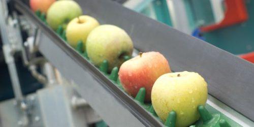 Przetwórnia owoców. Jabłka na taśmie produkcyjnej